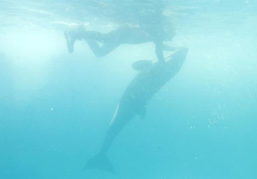 File picture shows Fernando Miranda swimming with orphan killer whale Pascuala at the Vallarta Adventure park in Nuevo Vallarta in Mexico