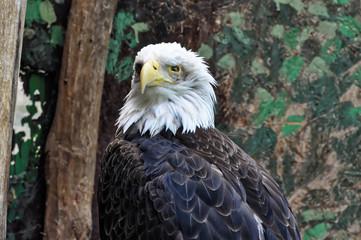 Close shot of head of eagle