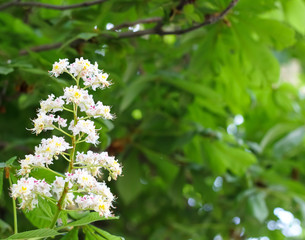 Blooming chestnut tree.
