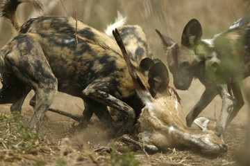 Critically endangered African wild dogs (Lycaon pictus) eat a Bush buck in the Mana Pools National Park, a World Heritage Site, in northern Zimbabwe