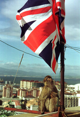 -PICTURE TAKEN 07FEB02- A Gibraltar monkey feeds its baby as it looks at the Union Jack flag on the ..