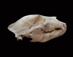 Skull of a brown bear on a black background