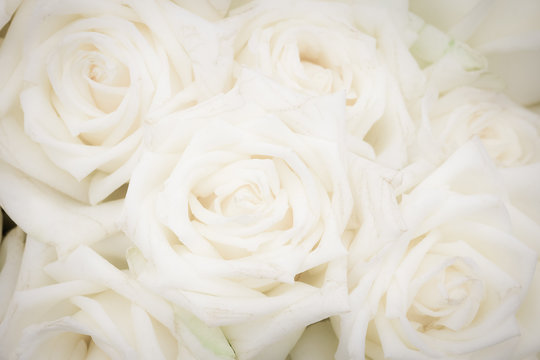 Close up of soft white roses for the background.