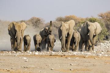 elephants in the savannah of the Etosha national park