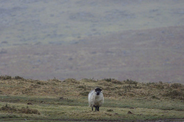 A SHEEP UNAFFECTED BY FOOT-AND-MOUTH DISEASE STANDS IN A FIELD IN DEVON.