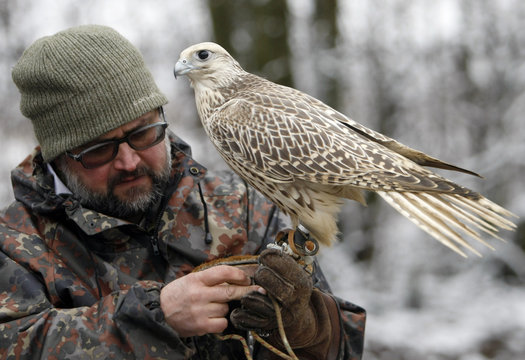A scientist holds a gyrfalcon at the Russian Falcon centre in Moscow