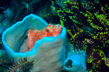 Little Scorpaena in the coral Cup. The Island Of Mindoro. Philippines.
