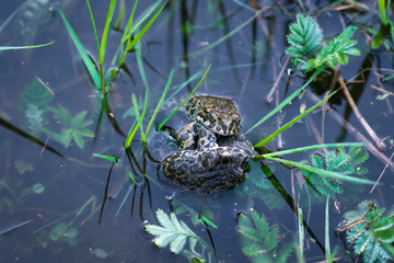 Froggy sex