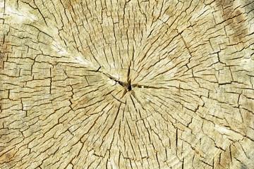 Textured bark of a hardwood tree, poplar