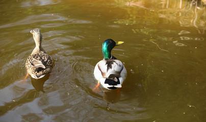 para kaczek krzyżówek płynie