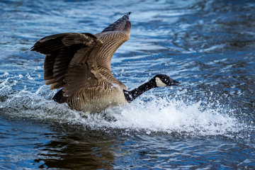 Canada Goose - Branta canadensis, landing in the water, making a big splash.