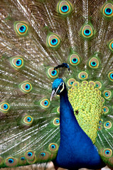 A male peacock displays its feathers in a park in Skopje.