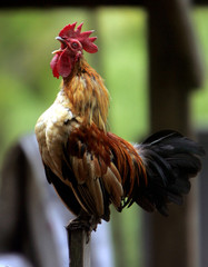 A rooster crows in the early morning of November 8, 2004,  in southern Thailand's Narathiwat provinc..