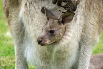Australian western grey kangaroo with baby in pouch, Tasmania, Australia