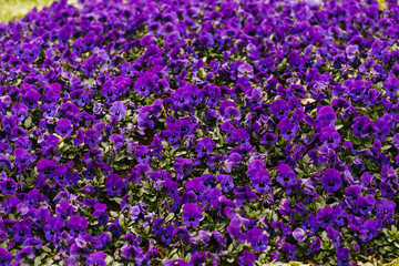 Violet flower bed with many flowers as background