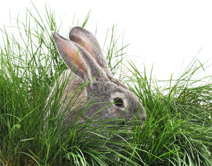 Gray bunny in the grass.