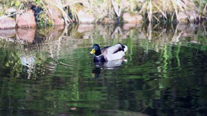 kaczka - barwny samiec płynie