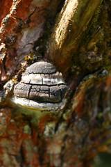 huba na drzewie
