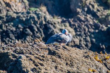 Goose in protected area Monumento Nacional Islotes de Punihuil on Chiloe island, Chile