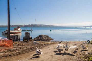 Old wrecked boats and geese in Curaco de Velez village, Isla Quinchao island, Chile