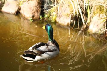 dzika kaczka pływa w stawie