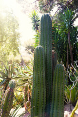 Large cactus growing in the garden