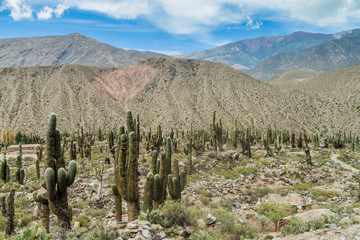 Cacti growing at ruins of pre-Columbian fortification Pucara near Tilcara village in Quebrada de Humahuaca valley, Argentina