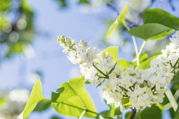 Beautiful blooming white lilac branch