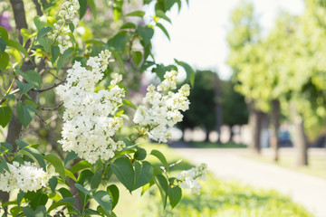 Spring background art with white lilac branch. Sunny day. Blue sky. Spring flowers. Beautiful orchard. Street blurred background. Shallow depth of field. Copy space.