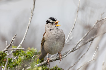 White-crowned Sparrow (Zonotrichia leucophrys) Adult  whistling. Monterey County, California, USA.