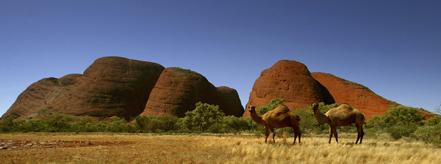 File photo of two wild camels in front of rock monoliths known as The Olgas in central Australia
