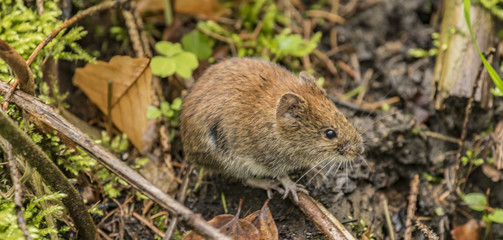 Brown orange mouse in forest