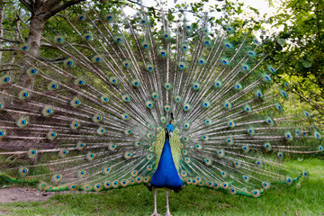 Indian Peafowl stretching its magnificent tail train