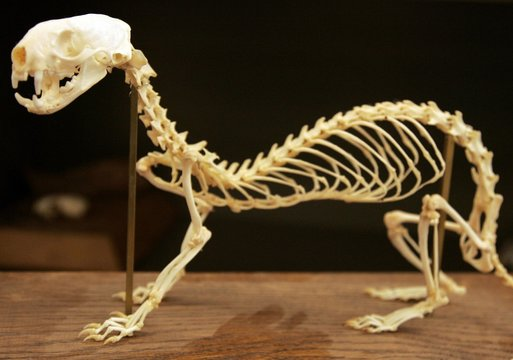 The skeleton of a black-footed ferret seen at the U.S. Fish and Wildlife Service National Black-footed Ferret Conservation Center in Wellington