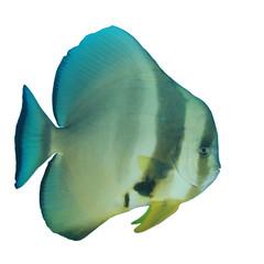 Longfin Spadefish (Batfish) fish isolated on white background
