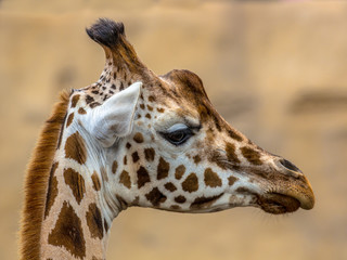 Head of southern giraffe