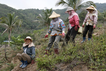 Women from the Paiwan ethnic minority work on a field in Chin-feng