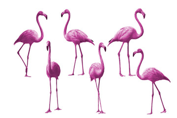 Beautiful bird flamingo isolated on white background
