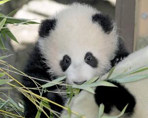 BABY GIANT PANDA MEI SHENG LOOKS OVER MOM BAI YUN.