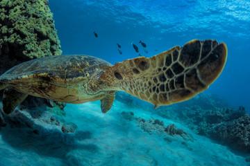 Sea turtle in natural habitat. Ocean wildlife animal underwater. Coral reef with fish