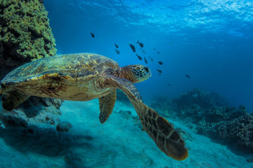 A Turtle underwater in blue ocean. Sea wildlife with tropical corals and fish.