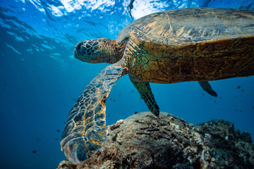 Turtle in blue water of Pacific ocean. Closeup portrait of wild animal underwater