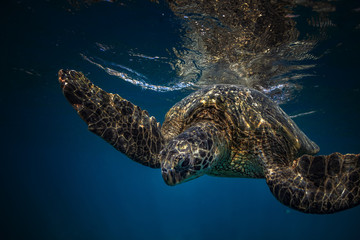 Big sea turtle closeup. Underwater life in Pacific ocean. Blue background with reflection on water surface