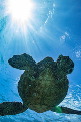 Sea turtle floating under water surface. Sunbeams shining on background. Underwater shoot view from bottom