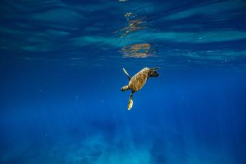 A turtle in blue ocean