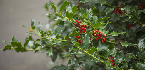 Red berries from a holly tree. Holly tree under rain.