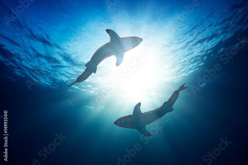 Great white sharks by watersurface view from bottom