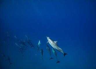 Pod of spinner sea dolphins underwater in deep blue water of Pacific ocean