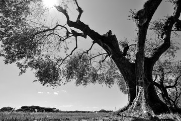 High contrast black and white of an old olive tree in an Italian orchard