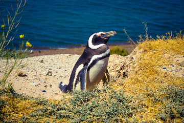 A Magellanic penguin (Spheniscus Magellanicus) sleeping inside Valdes Peninsula nature reserve, Patagonia, Argentina, South America.